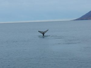 Whale Watching - Ein Buckelwal :)
