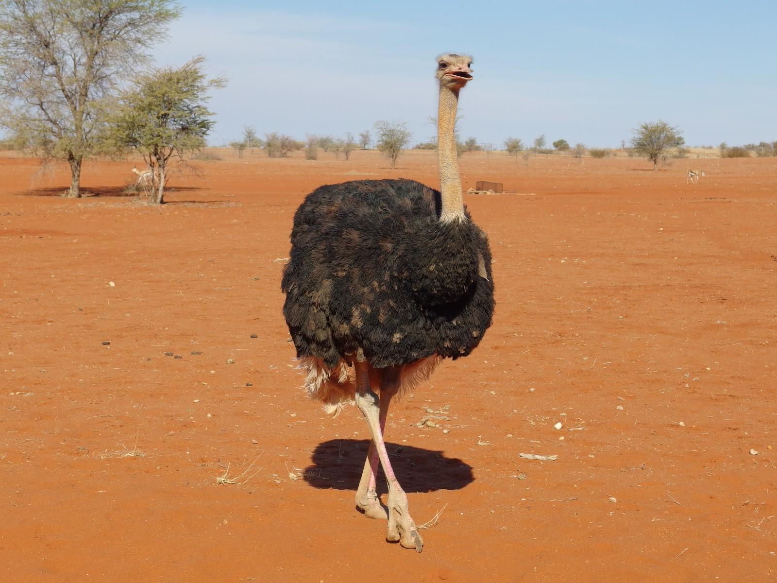 Strauß in der Kalahari