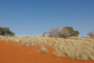 Gepard in der Kalahariwüste