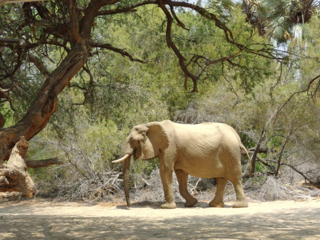 Wüstenelefant auf der Campsite in Purros