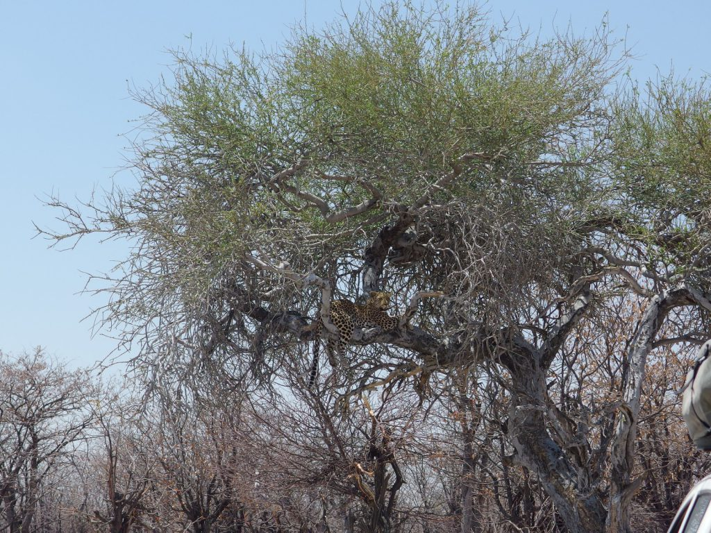 Leopard im Etosha NP